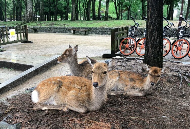 Three deer sitting together on a hill in Nara deer park