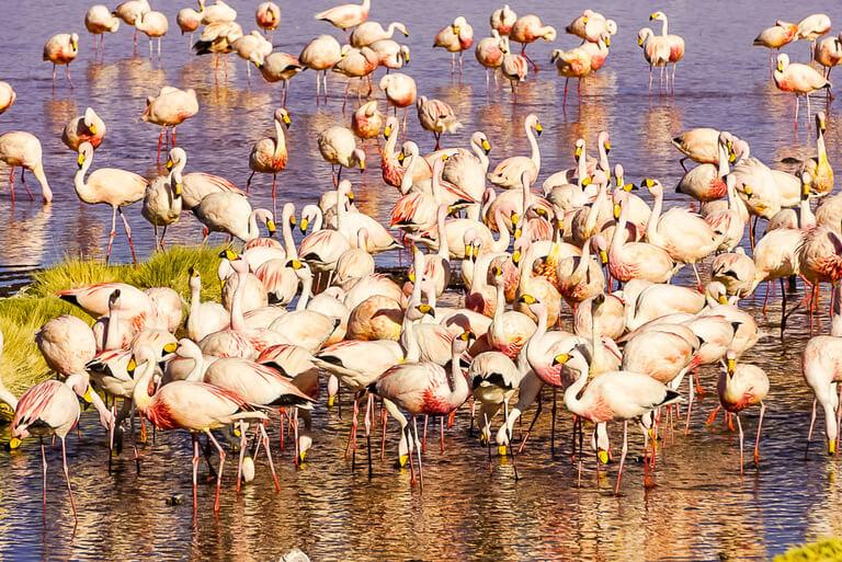 lots of flamingoes wading and feeding on shrimp in laguna near San Pedro de atacama