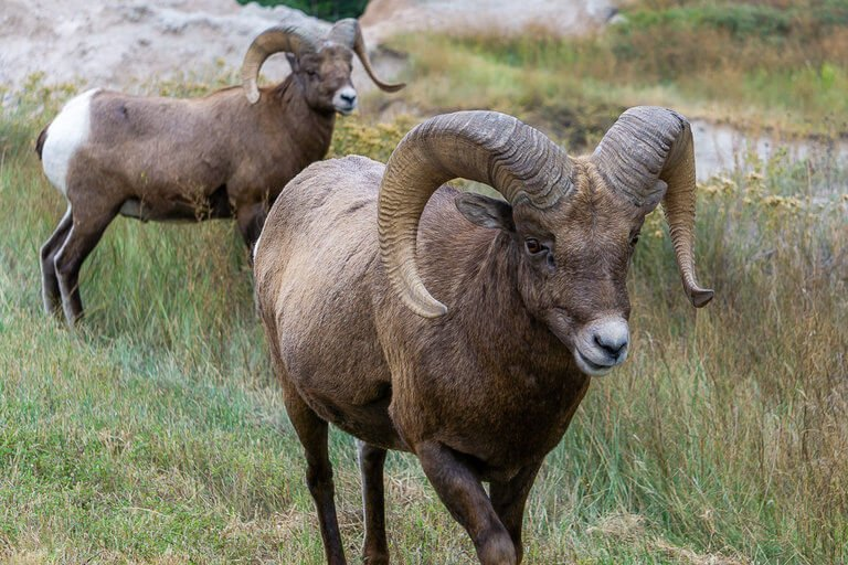 Bighorn Sheep Badlands Photography Telephoto Lens