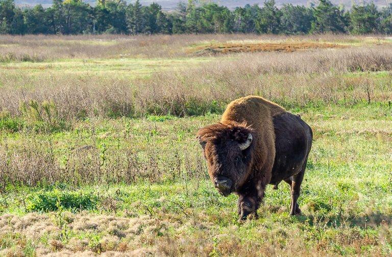 American Bison walking through Badlands South Dakota