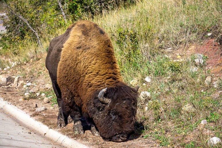 Huge brown bison on side of road wildlife loop Custer state park