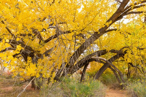 Tree with stunning yellow leaves in Capitol Reef