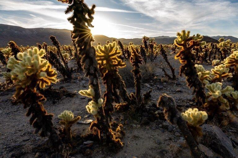 Awesome cactus garden illuminated at sunset Joshua Tree day trip California