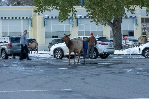 Mule deer walking around mammoth hot springs hotel carpark