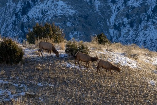 mule deer walking on a hill close to mammoth hot springs