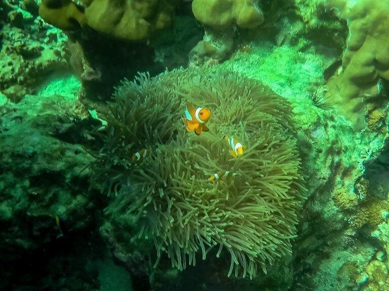 Clown fish snorkelling trip in the Andaman sea