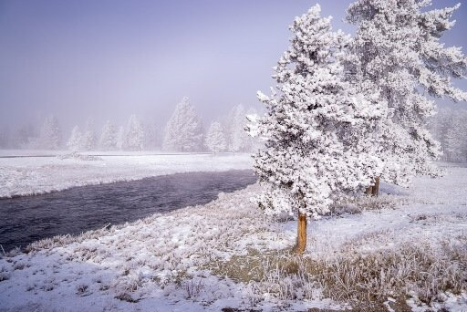 White trees frozen with snow on next to river in yellowstone