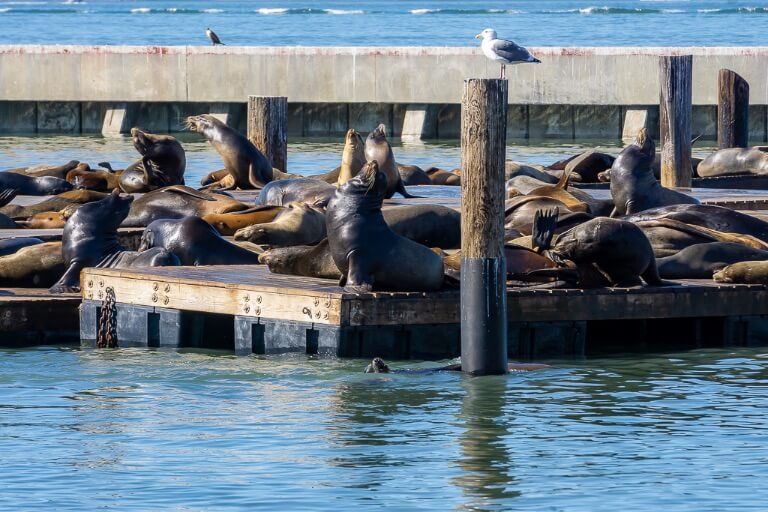 Barking sea lions basking in the sun pier 39 San Francisco itinerary California