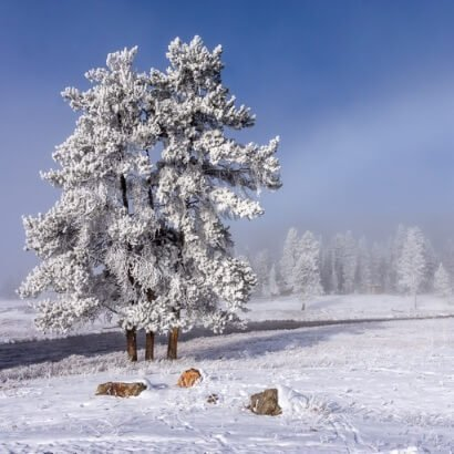Yellowstone National Park in Winter frozen tree and misty haze