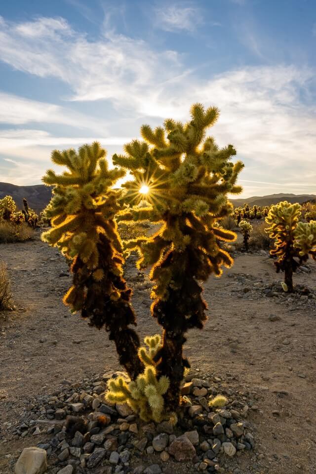 Cactus plants at sunset in joshua tree national park california