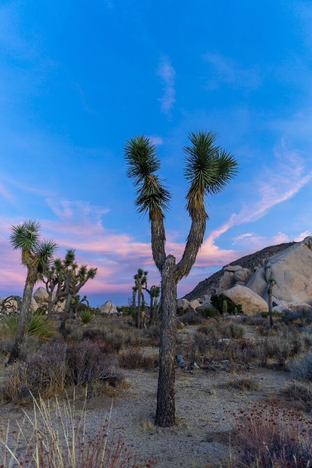 Baby Joshua Trees in arid desert land of Joshua Tree national park California USA at sunset with lovely pinks and purples in the sky