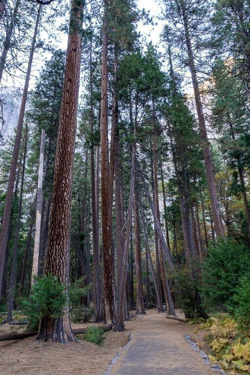 Forest with tall trees on way to trailhead