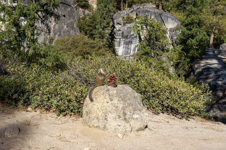 Squirrel and pine cone in california national park
