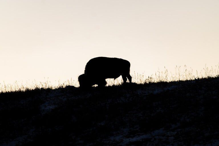 Bison silhouetted against a yellow dusk in Yellowstone National Park near Hayden Valley