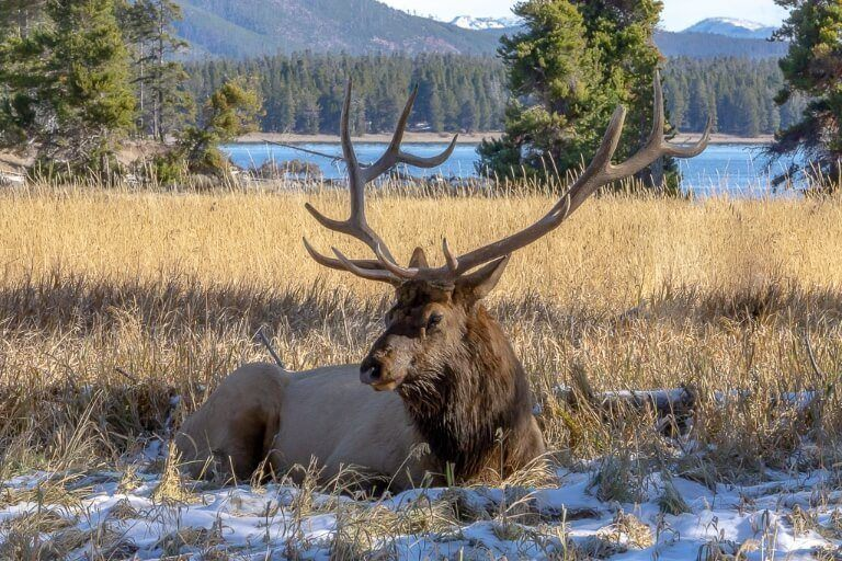 Male elk breeding season in yellowstone bugling in october laying on yellow grass
