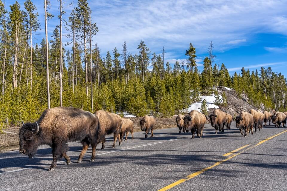 Bison herd walking down a road with green trees and blue sky in wyoming