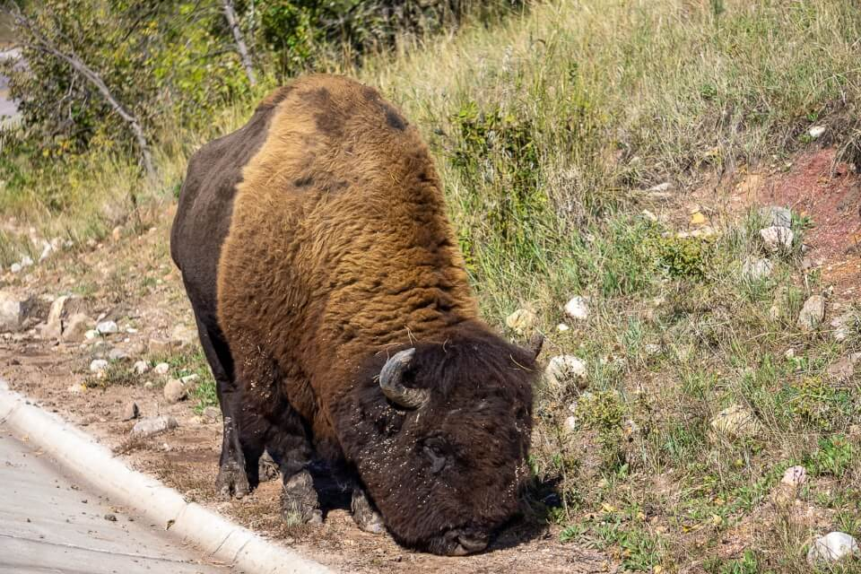 Custer state park wildlife loop is one of the best things to do near mount Rushmore with huge furry bison walking along the road side