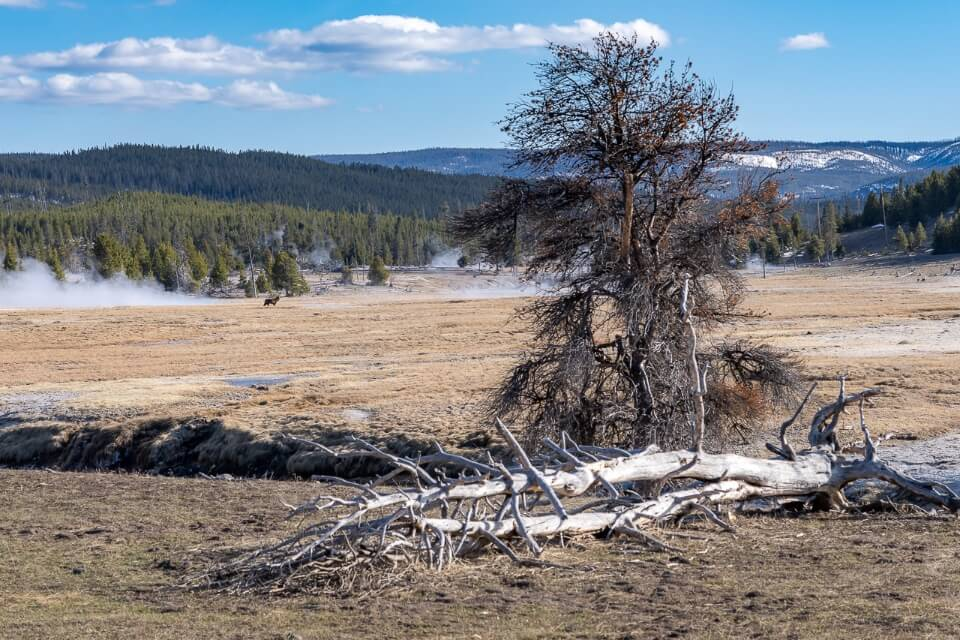 Wolf spotting near grand prismatic spring on meadow with dead tree in foreground